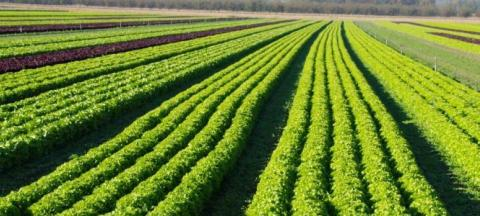 Rows of organic crops